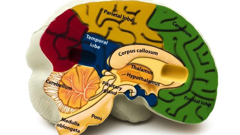 Model menschliches Gehirn, bunt, beschriftet