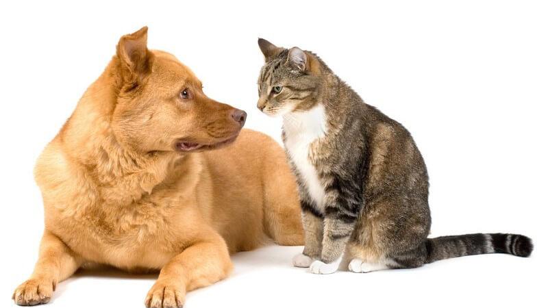 Liegender Hund neben sitzender Katze, schauen sich an, weißer Hintergrund