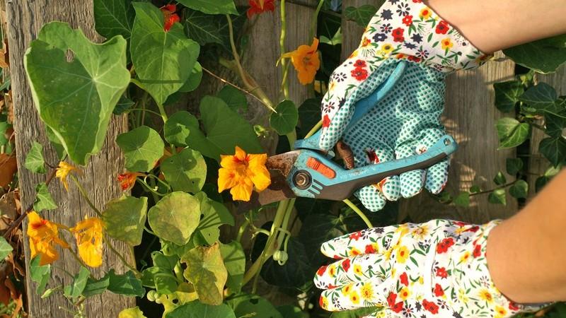 Bunte Gartenhandschuhe schneiden mit hellblauer Schere Pflanzen mit gelben Blüten