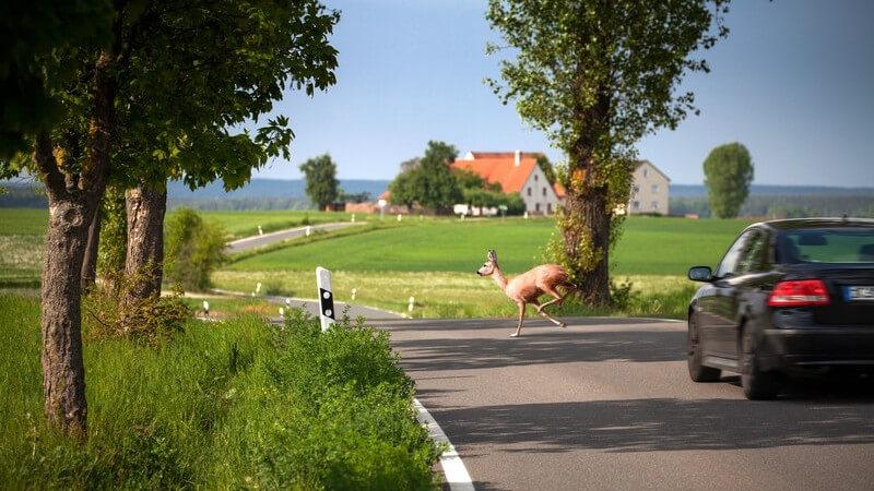Ein Reh läuft vor einem herannahenden Auto über die Landstraße (Wildwechsel)