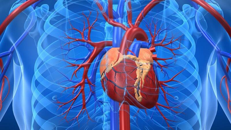 Grafik Herz mit Blutgefäßen in blauem Brustkorb