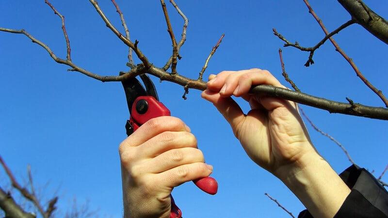 Äste eines Baums werden unter blauem Himmel mit Astschere geschnitten
