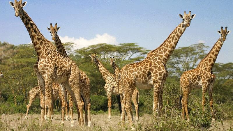 Giraffen, Safari