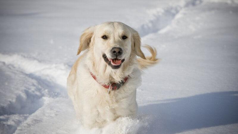Weißer Hund im Schnee, Golden Retriever