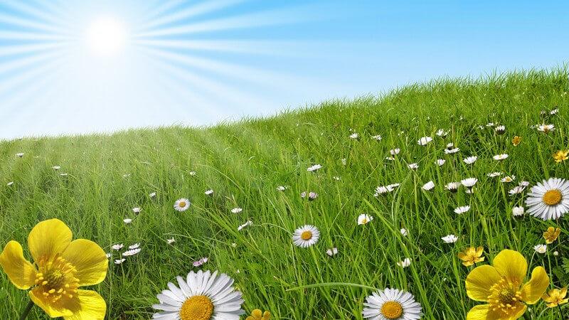 Grüne Wiese mit Blumen unter blauem Himmel mit Sonnenschein