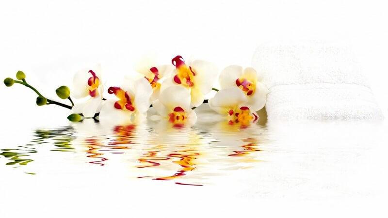 Weiß-gelb-rote Lilien auf dem Wasser mit Knospen