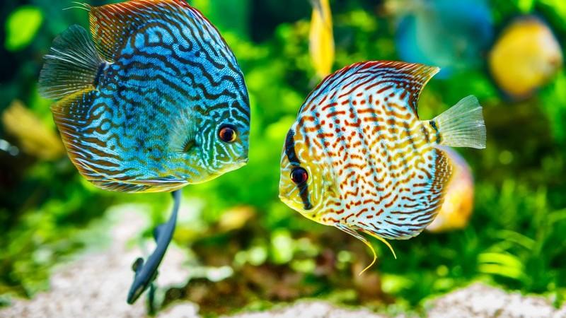 Zwei Fische im Aquarium, Echter Diskus, Echter Diskusbuntbarsch