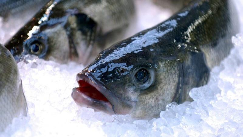 Nahaufnahme Frisch gefangener Fisch auf Eis