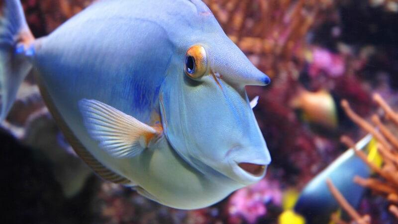 Blauer exotischer Fisch im Meer