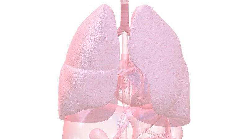 Grafik Organe mit Lunge hervorgehoben
