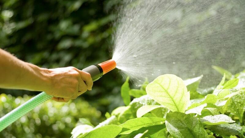 Pflanzen im Garten werden mit Wasserschlauch bewässert