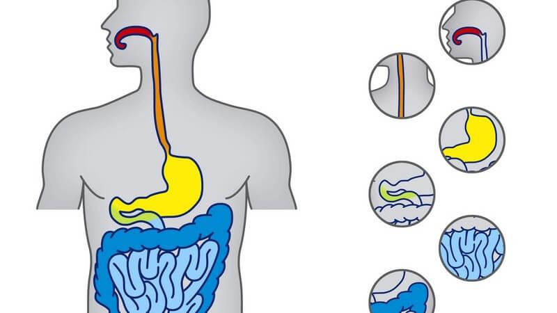 Grafik Verdauungssystem mit  einzelen angezeigten Organen
