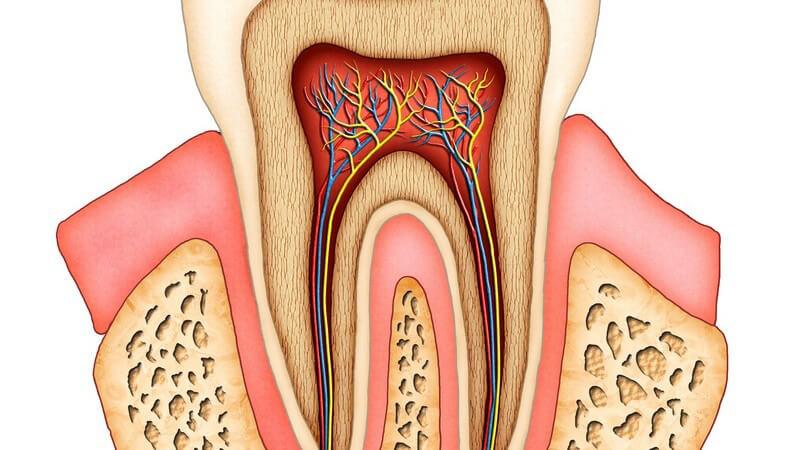 Zeichnung Anatomie menschlicher Zahn auf weißem Hintergrund