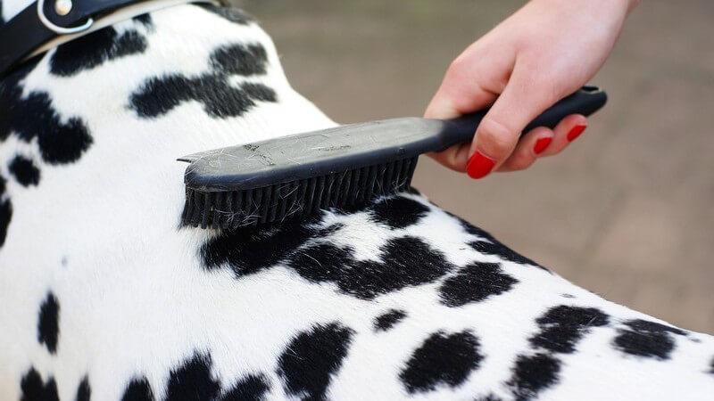 Nahaufnahme Frauenhand mit roten Fingernägeln bürstet Dalmatiner mit Hundebürste