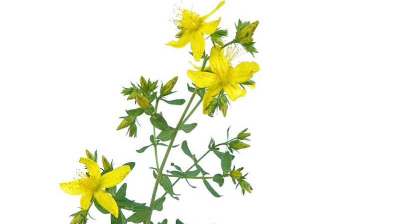 Johanniskrautzweig mit Blüten auf weißem Hintergrund