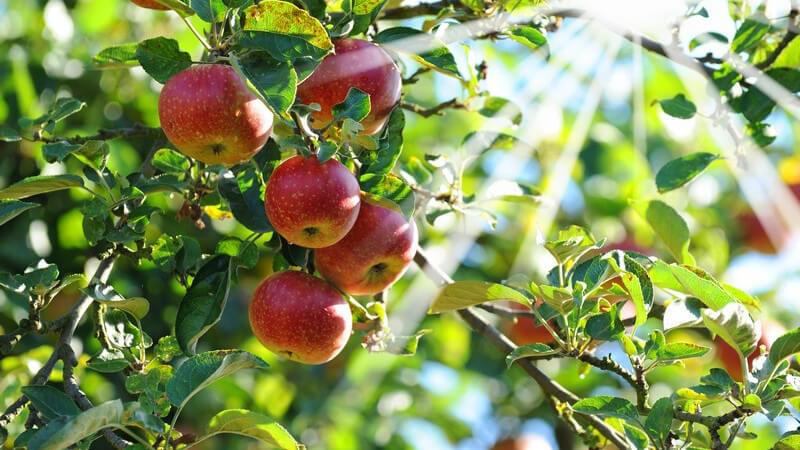 Äpfel an Apfelbaum, Sonne scheint durch die Äste