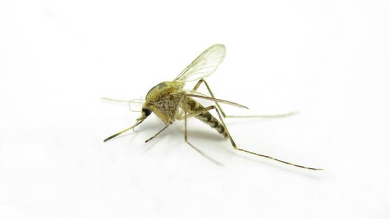 Grüner Mosquito vor weißem Hintergrund