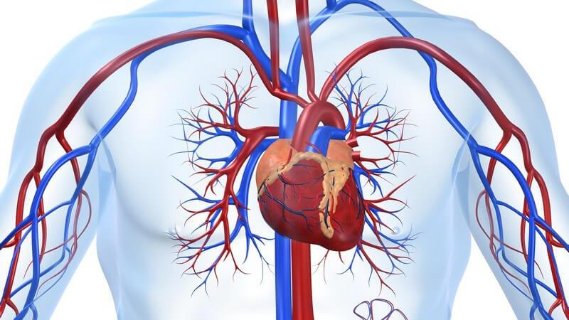 Grafische Darstellung cardiovaskuläres System, weißer Hintergrund