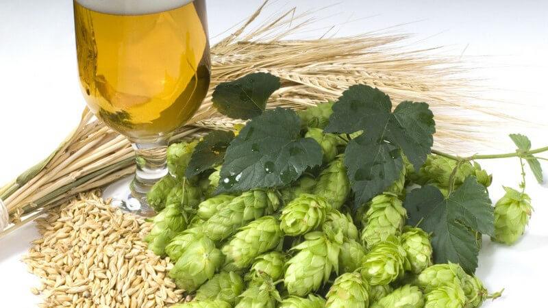 Glas mit Bier neben Hopfen und Weizen Pflanzen