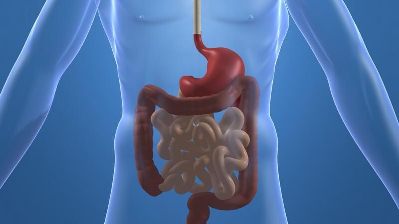 3D Grafik menschlicher durchsichtiger Körper, Verdauungsorgane rot gefärbt