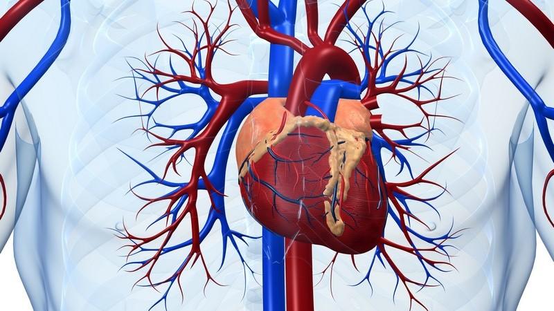 Anatomie - Grafik des menschlichen Herzens mit umliegenden Blutgefäßen