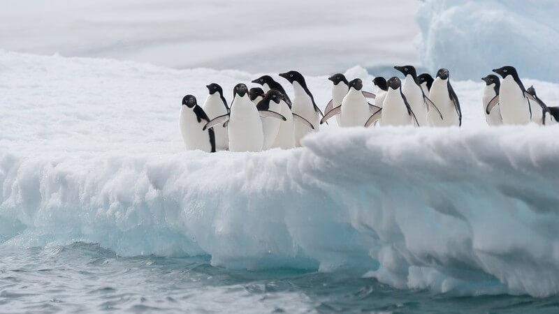 Gruppe von Adelie-Pinguinen am Eisberg, kurz vor dem Sprung ins Wasser