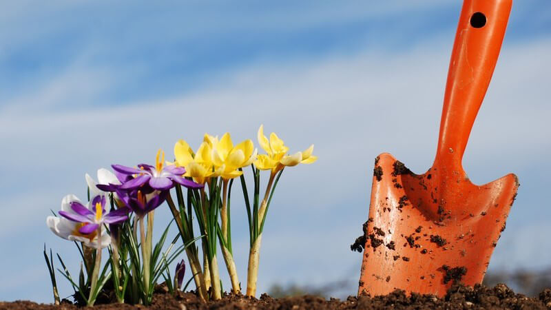 Krokusse firsch eingepflanzt, daneben kleine Gartenschaufel