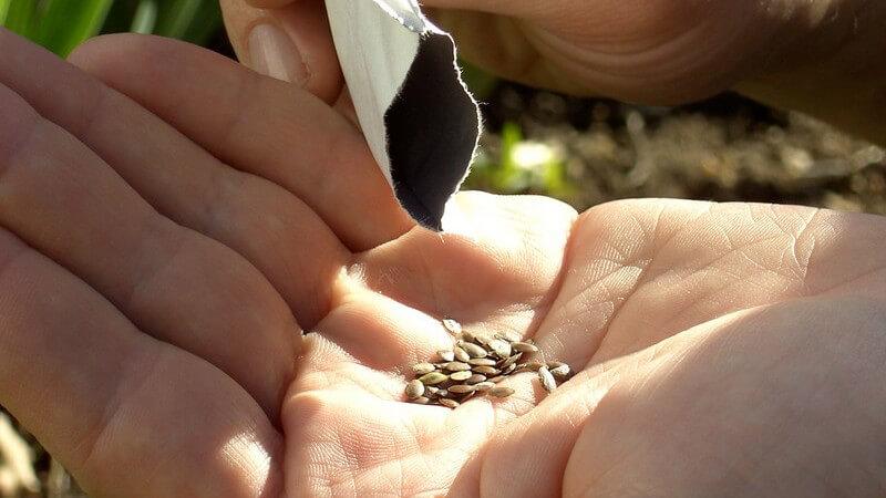 Pflanzensamen werden aus Beutel in Hand geschüttet