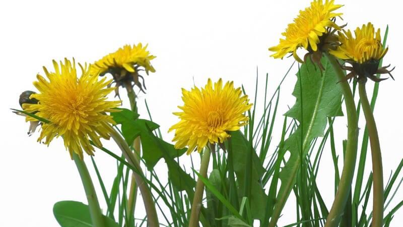 Löwenzahn Blumen mit gelben Blüten auf weißem Hintergrund