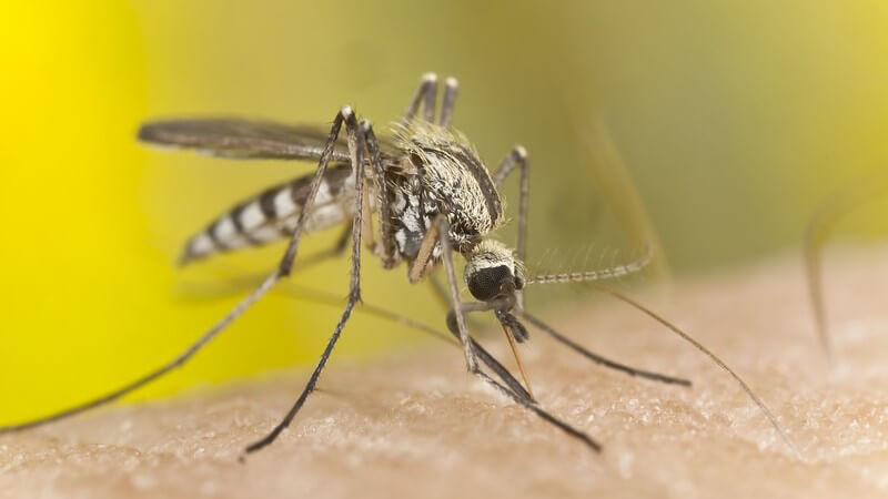 Mückenstich - Moskito oder Mücke auf menschlicher Haut