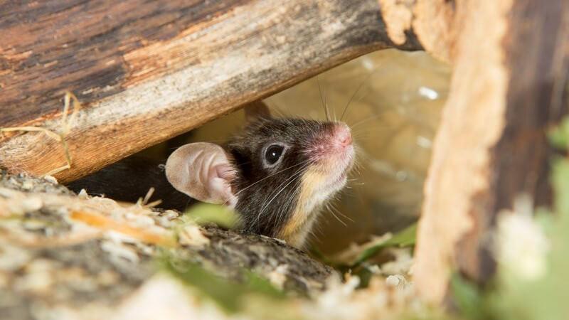 Eine Maus schaut unter Holzklötzen hervor