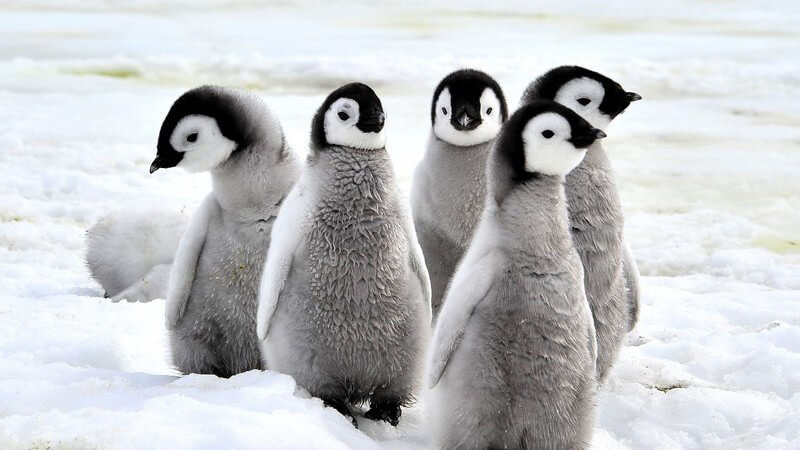 Fünf Küken von Kaiserpinguinen laufen durch das Eis