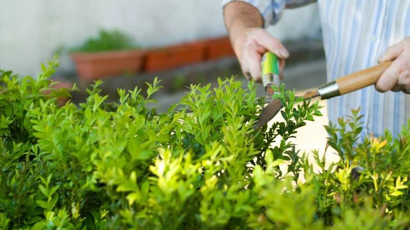 Mann schneidet Hecke mit Gartenschere