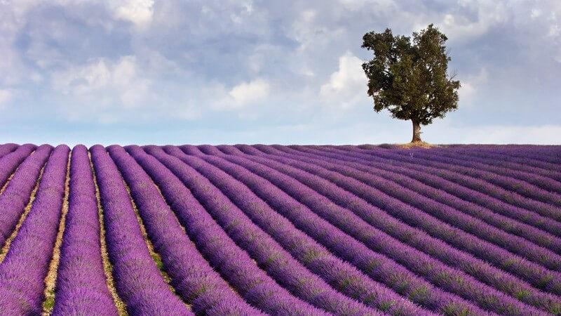 Einsamer Baum auf  Lavendelfeld