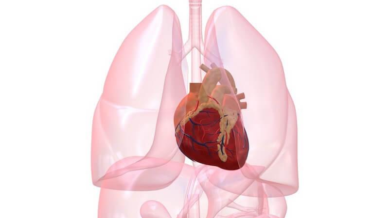 Grafik Organe mit Herz hervorgehoben