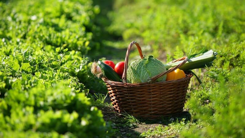 Korb mit verschiedenen Gemüsesorten auf Feld