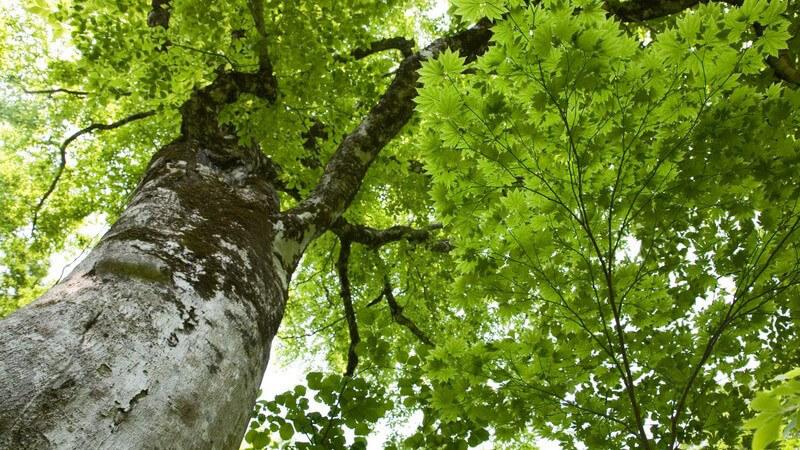 Ansicht von unten: Großer Baum mit grünen Blättern unter blauem Himmel