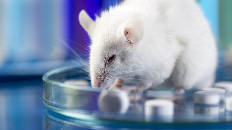 Weiße Maus sitzt in einer Petrischale mit Tabletten in einem Labor