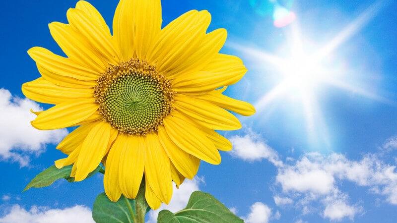 Sonnenblume mit blauem Himmel und strahlendem Sonnenschein im Hintergrund