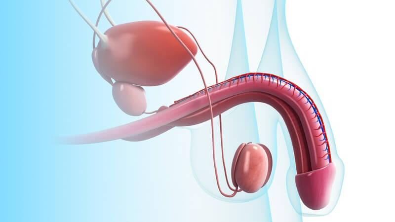 Hellblaue 3-D-Grafik des Penis mit Hoden und Prostata (seitlich)