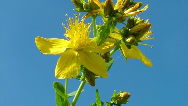 Schöllkraut Pflanze unter blauem Himmel