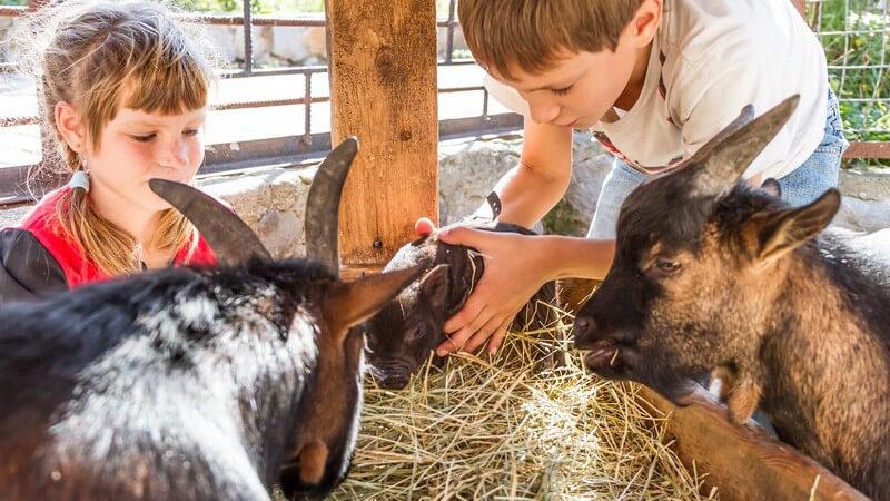 Mädchen und Junge bei einem kleinen Schwein und zwei Ziegen im Streichelzoo