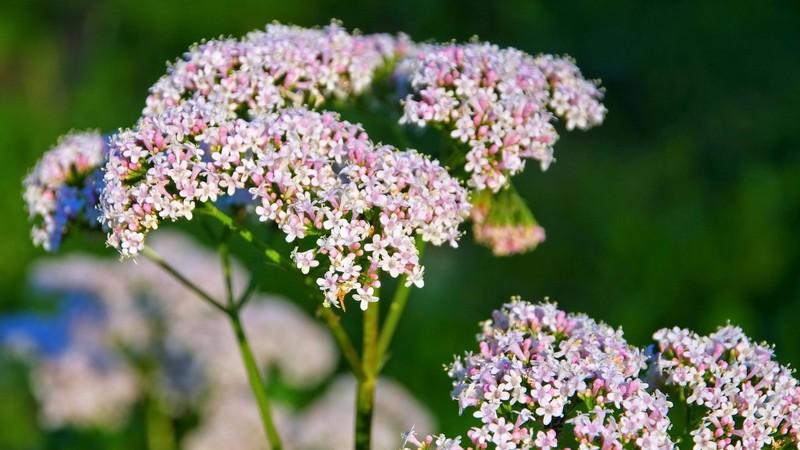 Die Heilpflanze Baldrian im Sonnenlicht und Grünen