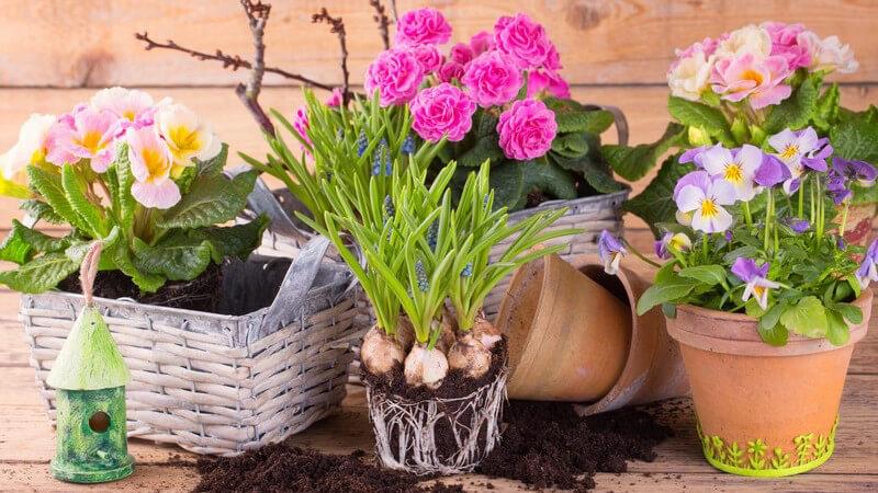 Blumentöpfe und -körbe mit frühlingshaften bunten Blumen