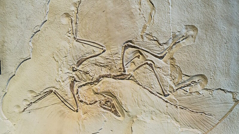 Archaeopteryx Fossil, Archosaurier