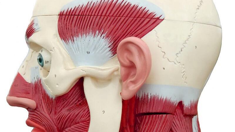 Modell menschlicher Kopf mit Muskeln, Seitenansicht