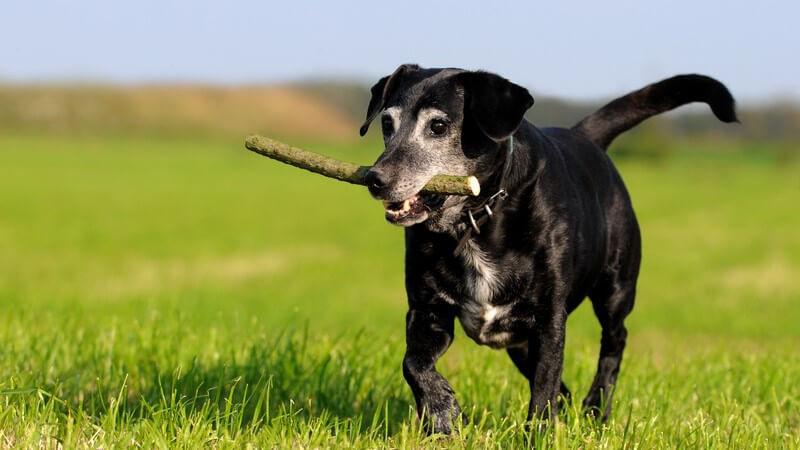 Schwarzer Hund mit Stock im Maul auf grüner Wiese