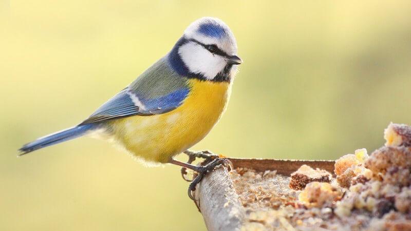 Blaumeise sitzt auf dem Rand eines Vogelhäuschens