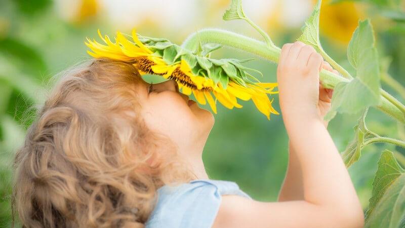 Lächelndes Mädchen hält große Sonnenblume runter an sein Gesicht und riecht daran