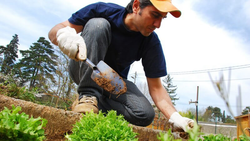 Gärtner pflanzt Gemüse ein